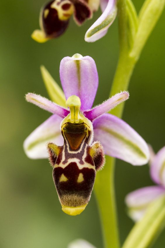 The Flower That Tricks Insects Into Having Sex With It