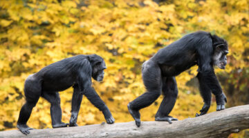 What Human Faces And Chimpanzee Butts Have In Common