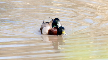 Oddities In The History Of Sex Research: Homosexual Necrophilia In The Mallard Duck