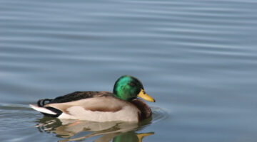 Today In The History Of Sex Research: Homosexual Necrophilia In The Mallard Duck