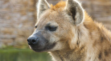 Female Hyenas Have an 8-Inch Clitoris–And It Makes For Tricky Mating